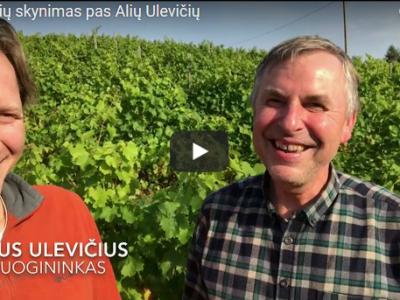 Vynuogių skynimas pas Alių Ulevičių