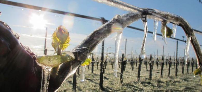 Apsaugokime savo vynuoges nuo pavasarinių šalnų