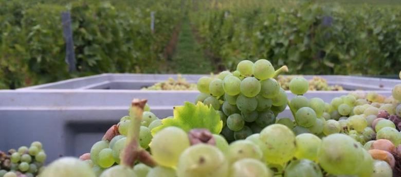 Kada metas nuimti vynuogių derlių?