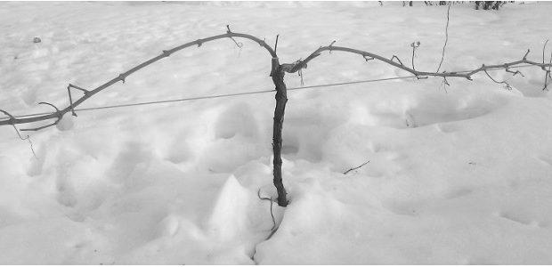 Žieminis vynmedžių genėjimas. Kada metas genėti?